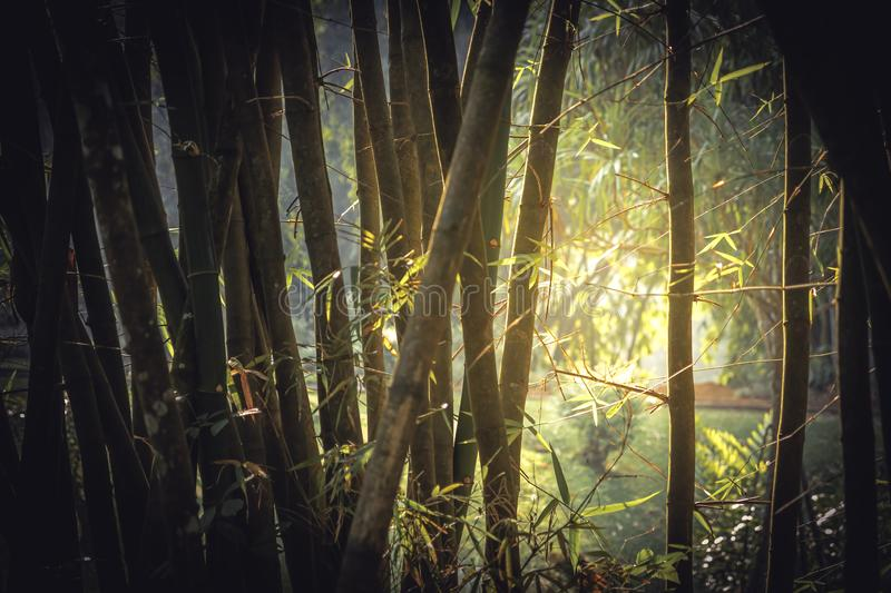 Bamboo tropical rainforest background with enlightenment sunlight through lush foliage vintage style stock photo