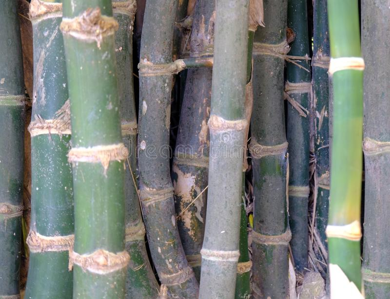 Bamboo, trunk and branches  Stay close together, dense, natural background royalty free stock images