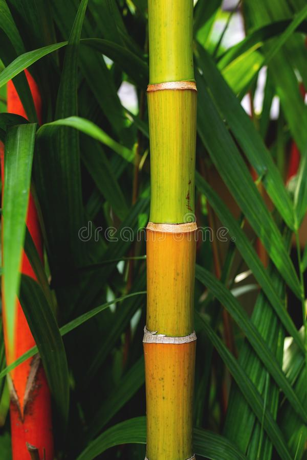 Bamboo trunk. Closed up green bamboo tree trunk of the bamboo forest in Thailand royalty free stock images