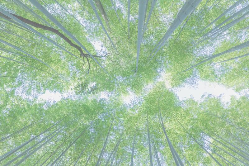 Bamboo up view background. Bamboo forest view background in close up royalty free stock photos