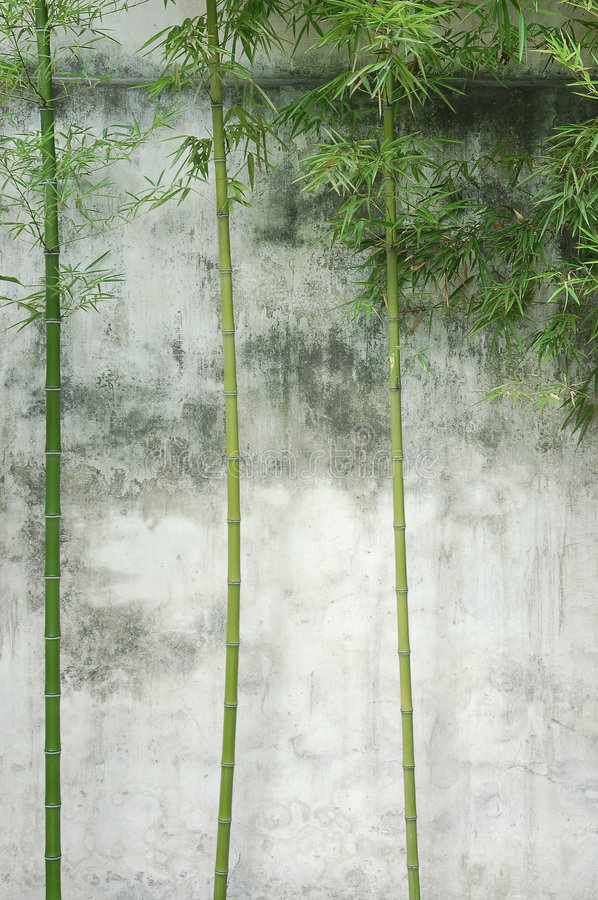 Bamboo wall. Three bamboo in front a wall royalty free stock photography