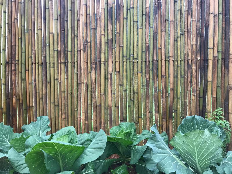 Bamboo wood logs wall with fresh green vegetables on soil plot royalty free stock image
