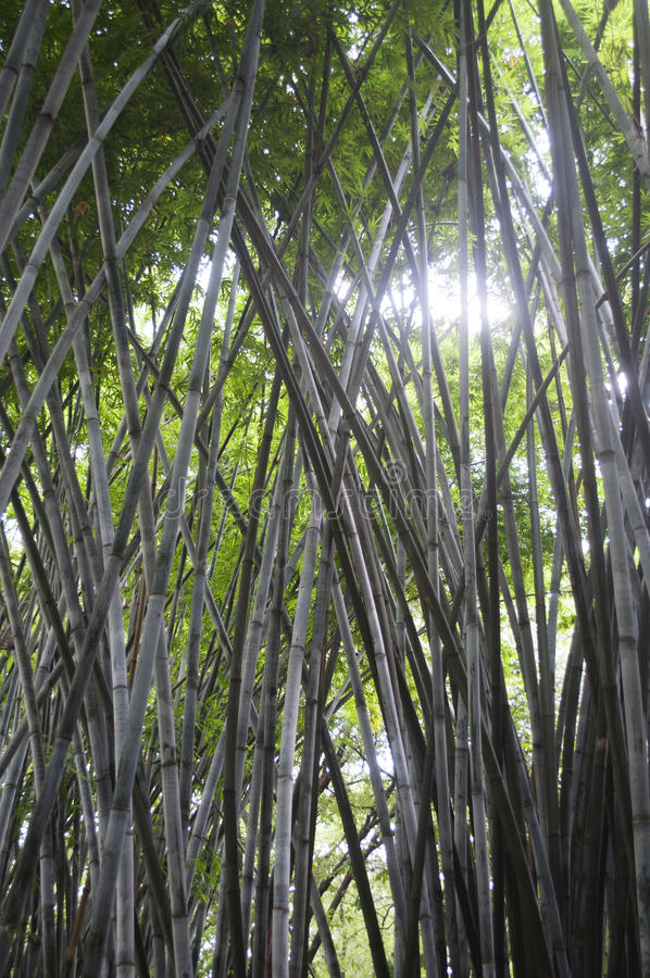Download Bamboo stock photo. Image of outdoor, stock, forest, tree - 31503900
