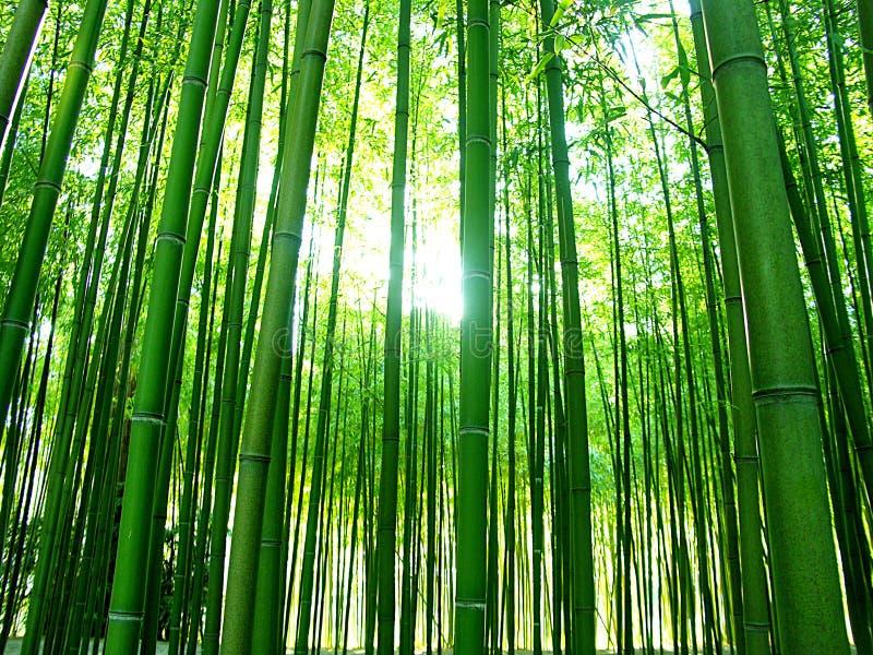 Bamboos royalty free stock photography