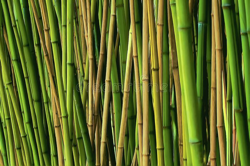 The bamboos are evergreen perennial flowering plants in the subfamily Bambusoideae of the grass family Poaceae royalty free stock photography