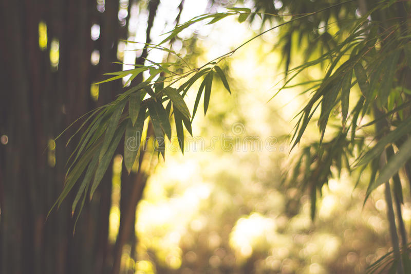 Bamboos Forest royalty free stock photo