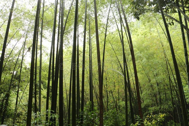 Bambou à Hangzhou photo stock