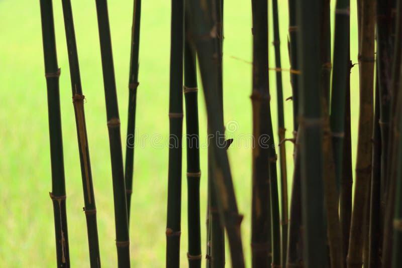 Bambou à l'arrière-plan de feu vert d'ombre photographie stock