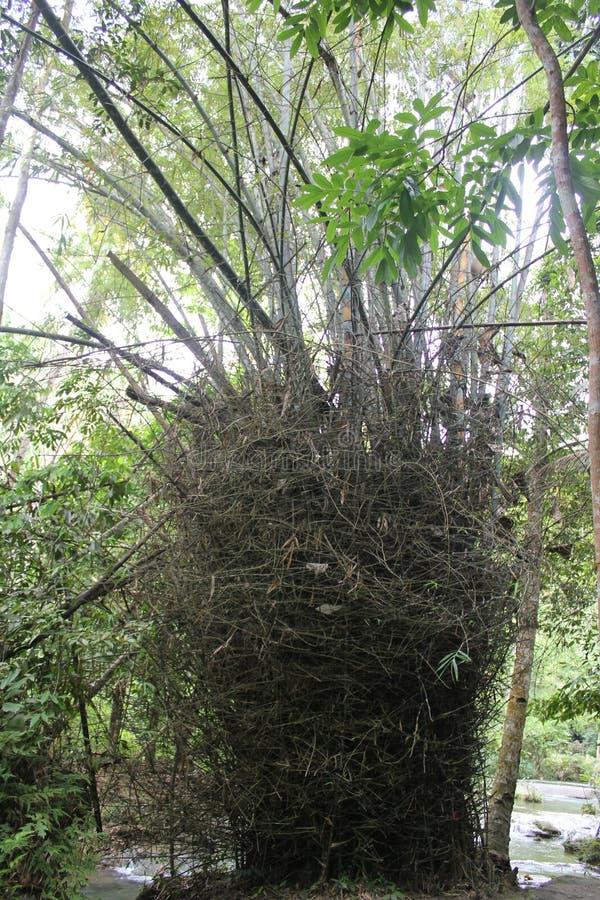 Bambou épineux photographie stock