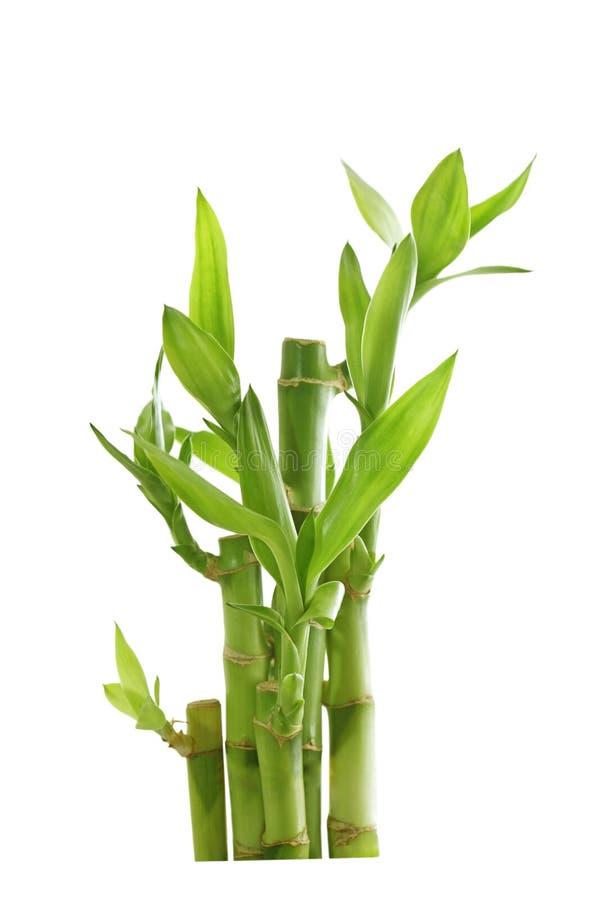 Bambou chanceux photos stock