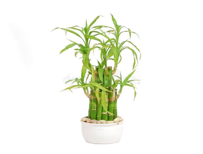 Bambou chanceux (sanderiana de Dracaena) photo stock