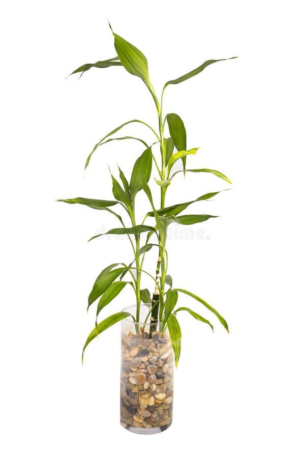 Bambou dans la vase image libre de droits
