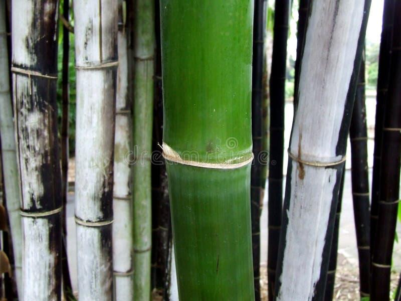 Bambou vert et noir photographie stock