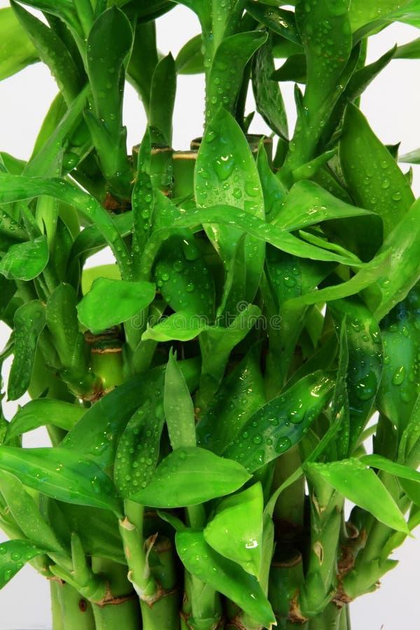Bambou vert sur la verticale blanche de fond photos libres de droits