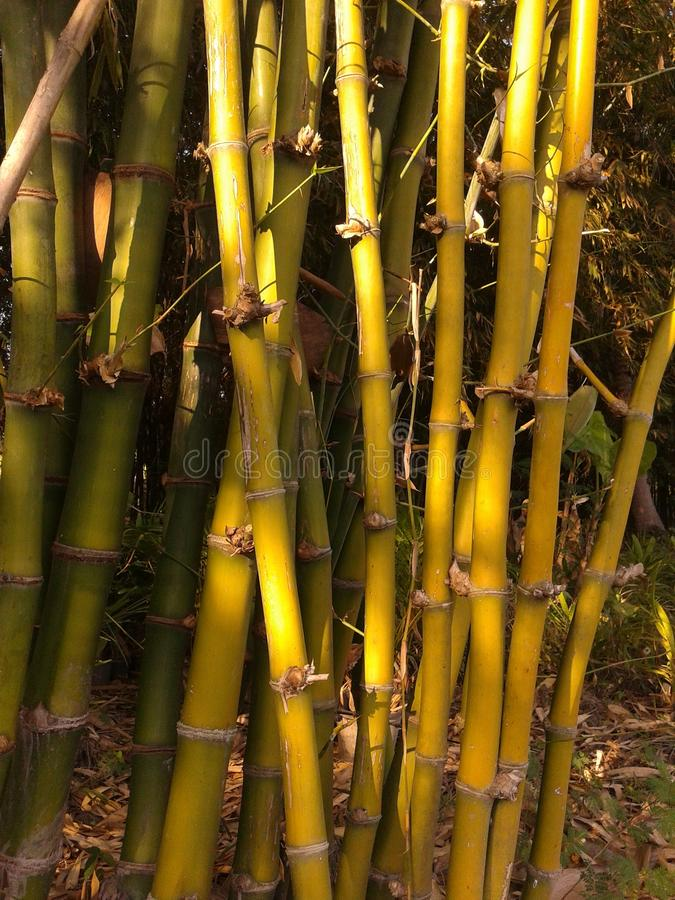 bambous photo libre de droits