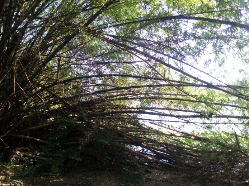 bambous photographie stock