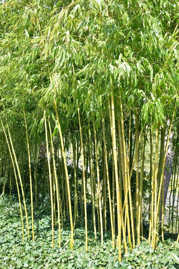 Bambous dans un jardin photographie stock