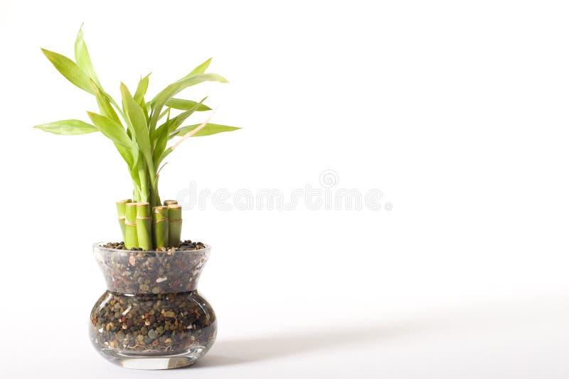 Bambous de chance photographie stock libre de droits