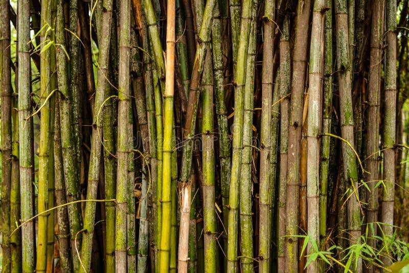 Bambous et bambous photo stock