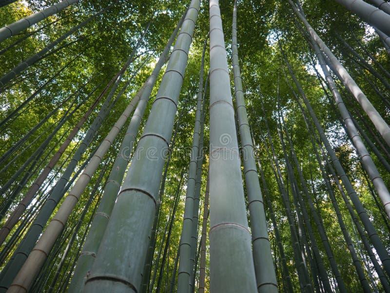 Bambous grands images libres de droits