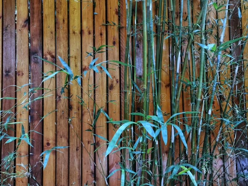 Bambous verts contre le mur en bois photos stock