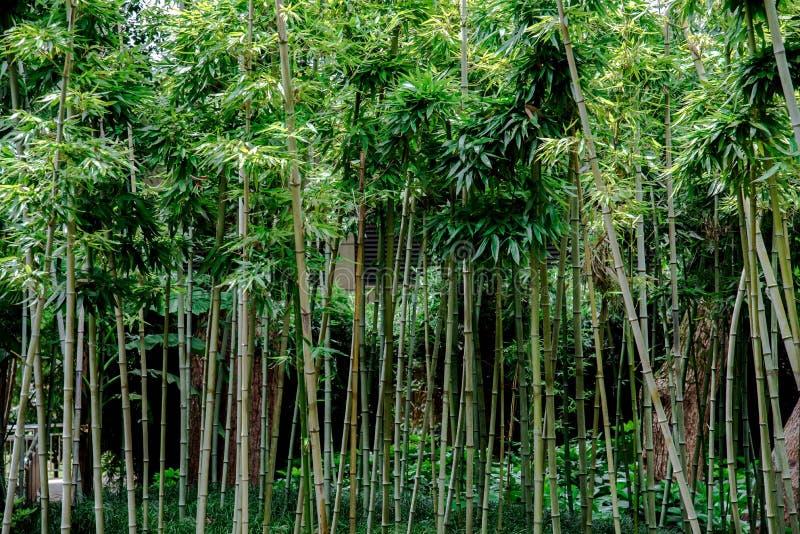 Bambous verts dans un jardin images libres de droits