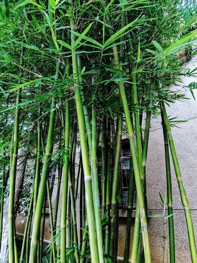 Bambous verts sur le fond de mur photographie stock libre de droits