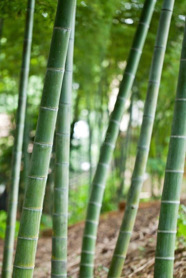 Bambu foto de stock