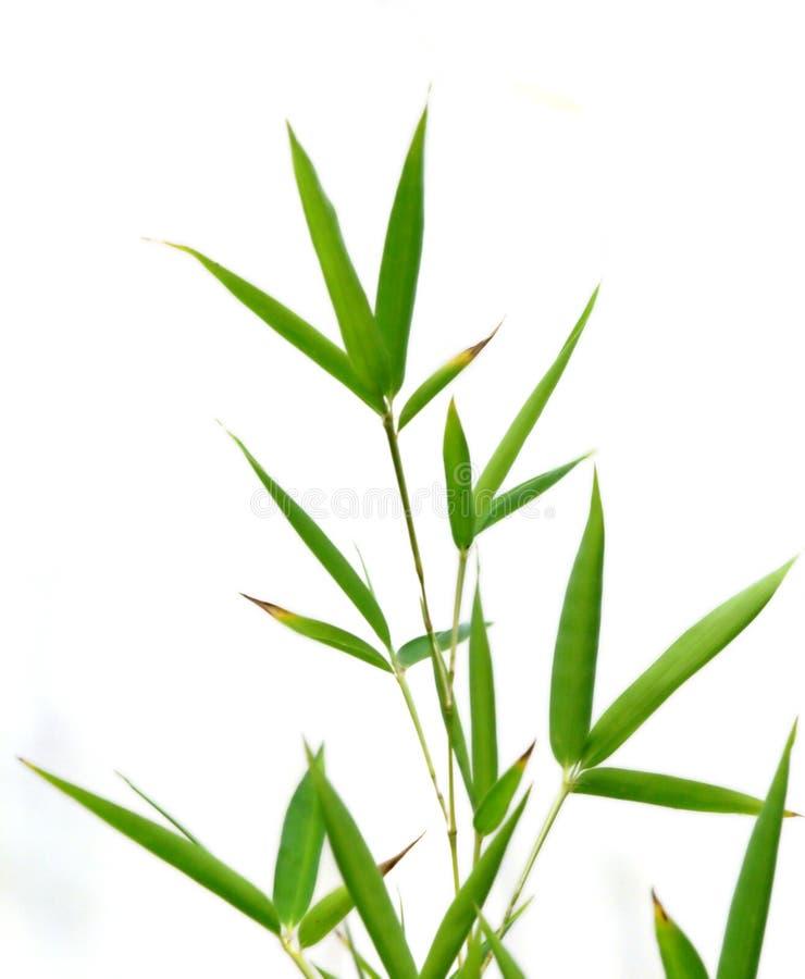 bambu arkivfoto
