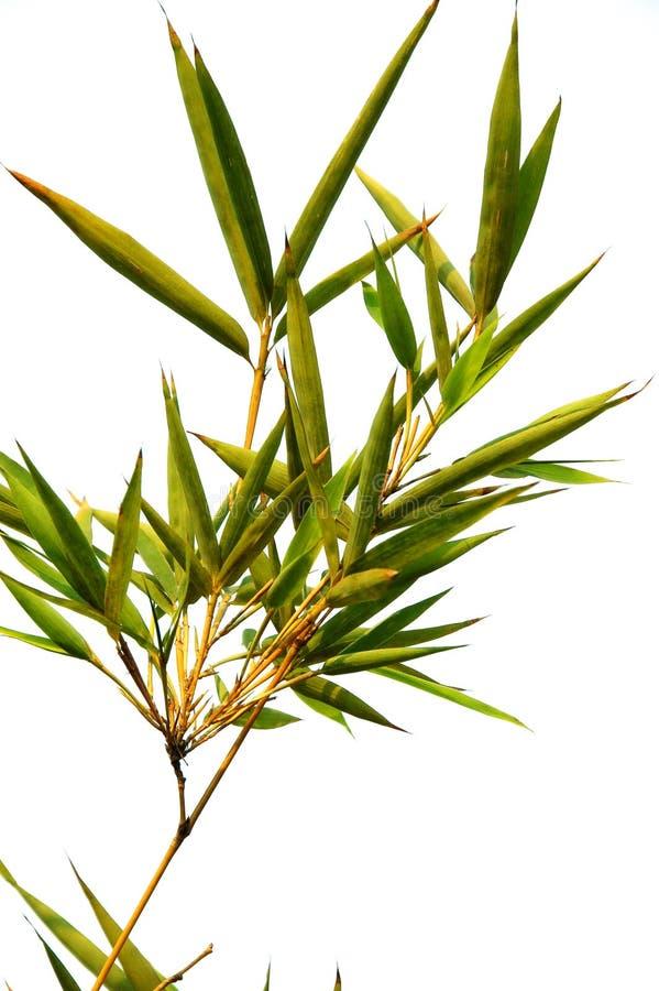 Bambu fotos de stock royalty free