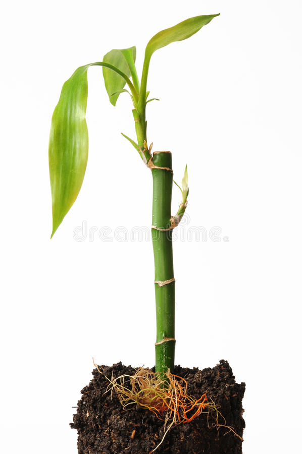 Bambu afortunado. fotografia de stock