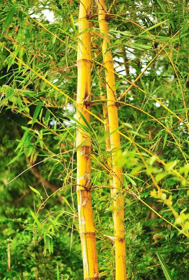 Download Bambu amarelo foto de stock. Imagem de verde, amarelo - 26507792