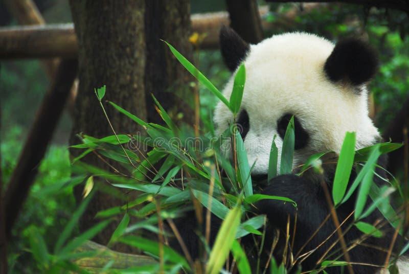 Bambu cortante da panda fotografia de stock