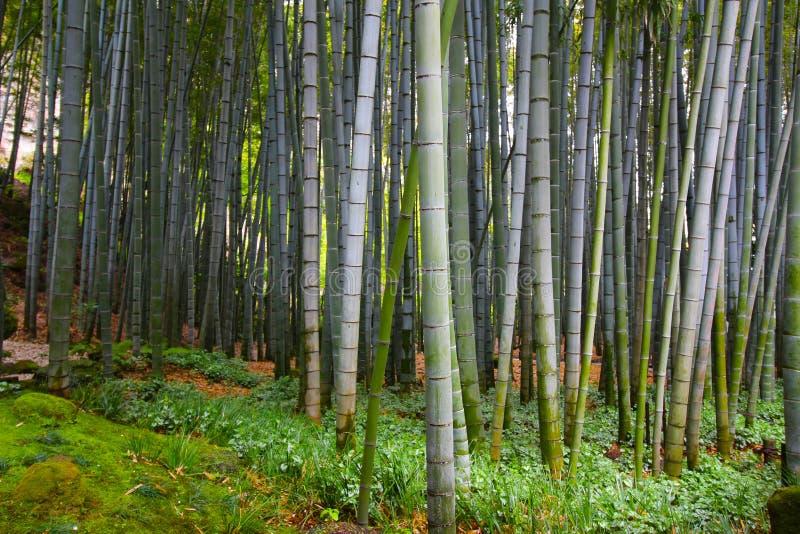 Bambu denso gigante que cresce na floresta em Japão fotografia de stock