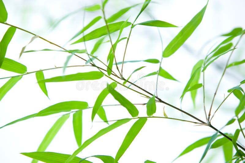 Bambu do anão em filiais finas fotos de stock royalty free