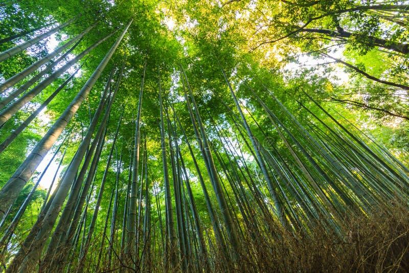 Bambu Forest Arashiyama royaltyfri foto