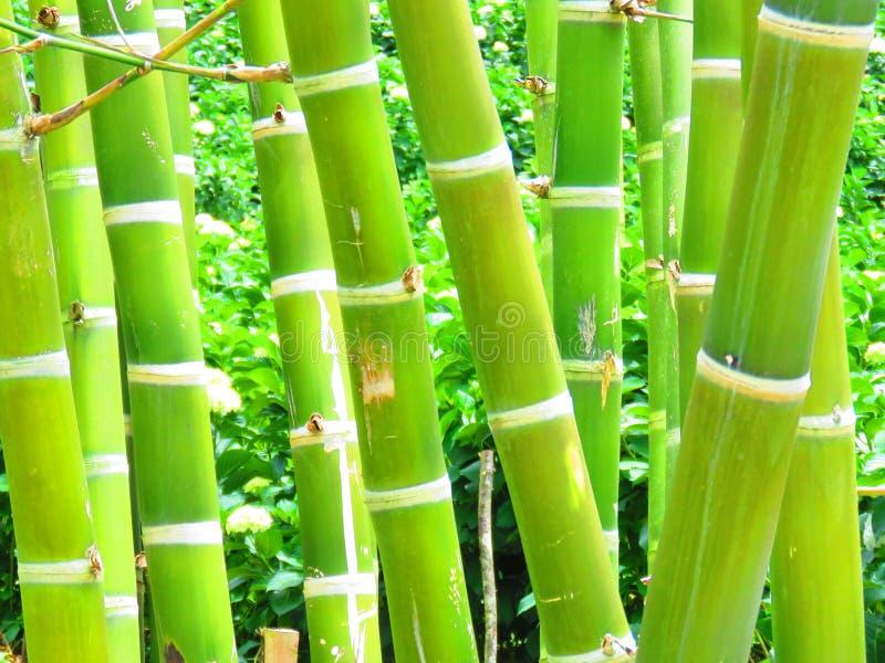 Bambu i trädgården arkivfoton