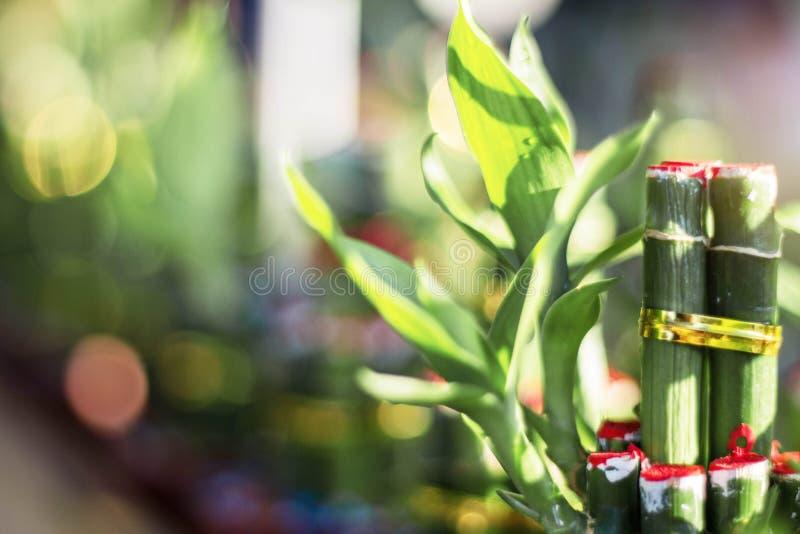 Bambu som planteras med troar royaltyfri bild