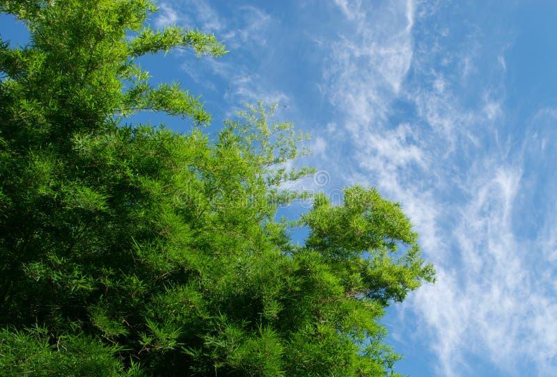 Bambu verde com nuvem e o céu azul foto de stock