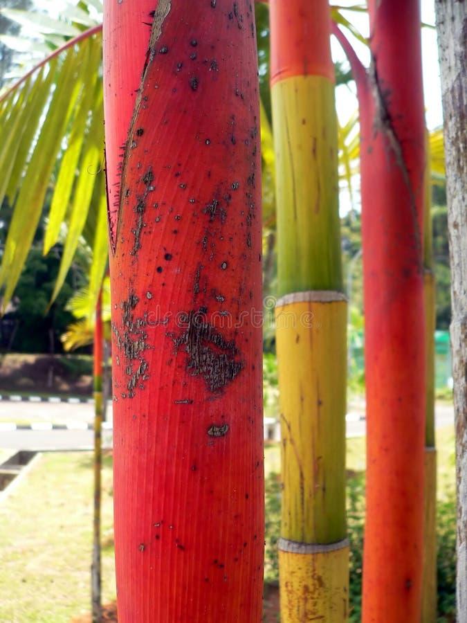 Bambu vermelho natural, Bornéu fotografia de stock