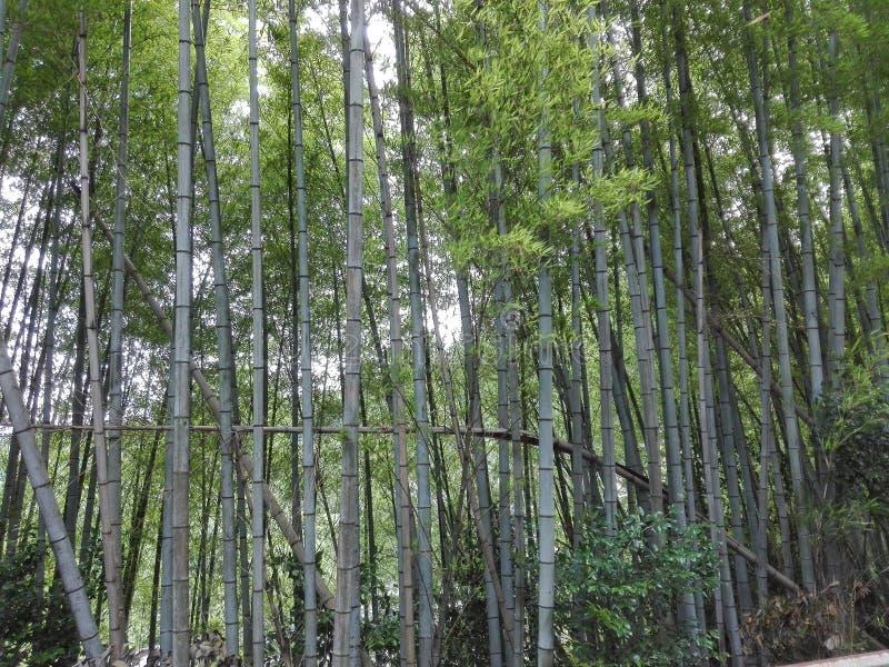 Bambu-Wald lizenzfreie stockfotografie