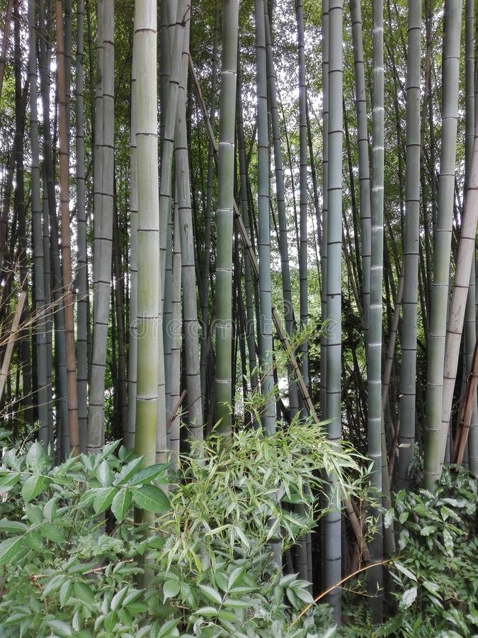 Bambu-Wald stockfoto