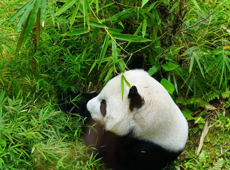 bambubj?rn som ?ter den j?tte- pandaen royaltyfria bilder