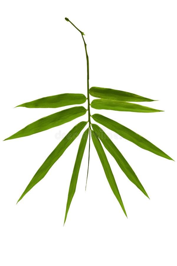 Bambublad som isoleras på vit bakgrund royaltyfri bild