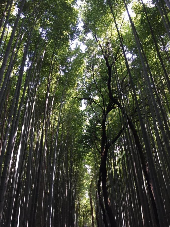 Bambudungar i Arashiyama nära Kyoto Japan royaltyfri bild