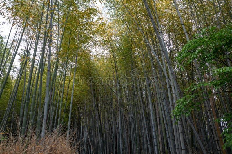 Bambudunge, bambuskog på Arashiyama, Kyoto, Japan royaltyfri foto