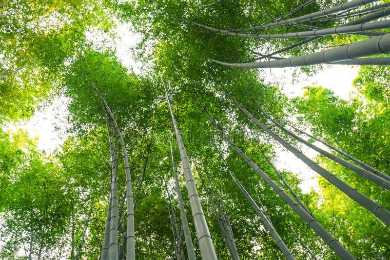 Bambudunge, bambuskog på Arashiyama, Kyoto, Japan arkivbild