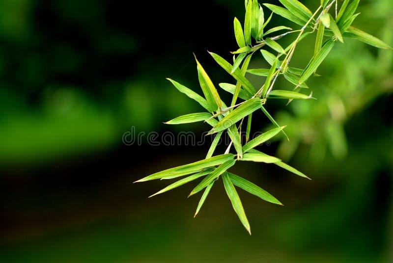 bambuleaf arkivfoto