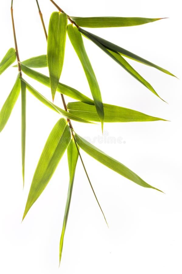bambuleafs royaltyfria bilder