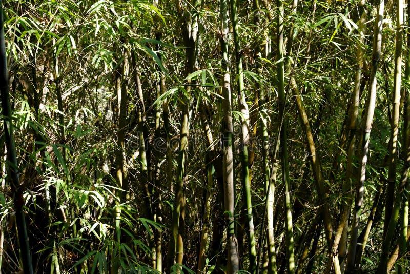 Bamburottingar i en Yunnan skog, Kina royaltyfri fotografi